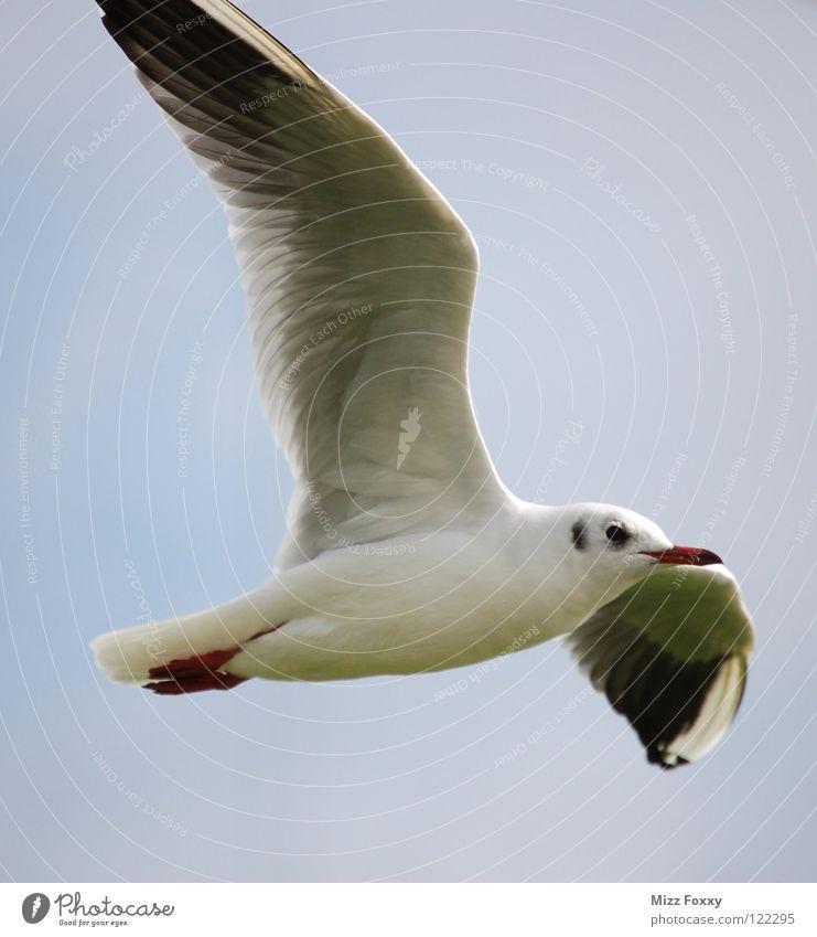 Freiflug Himmel Meer Strand grau Vogel Küste frei Luftverkehr Feder Flügel Segeln Möwe Schweben