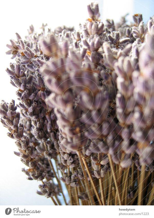 Lavendel weiß Blüte trocken Lippenblüter beruhigend Duft Heilpflanzen Trockenblume Makroaufnahme getrocknet
