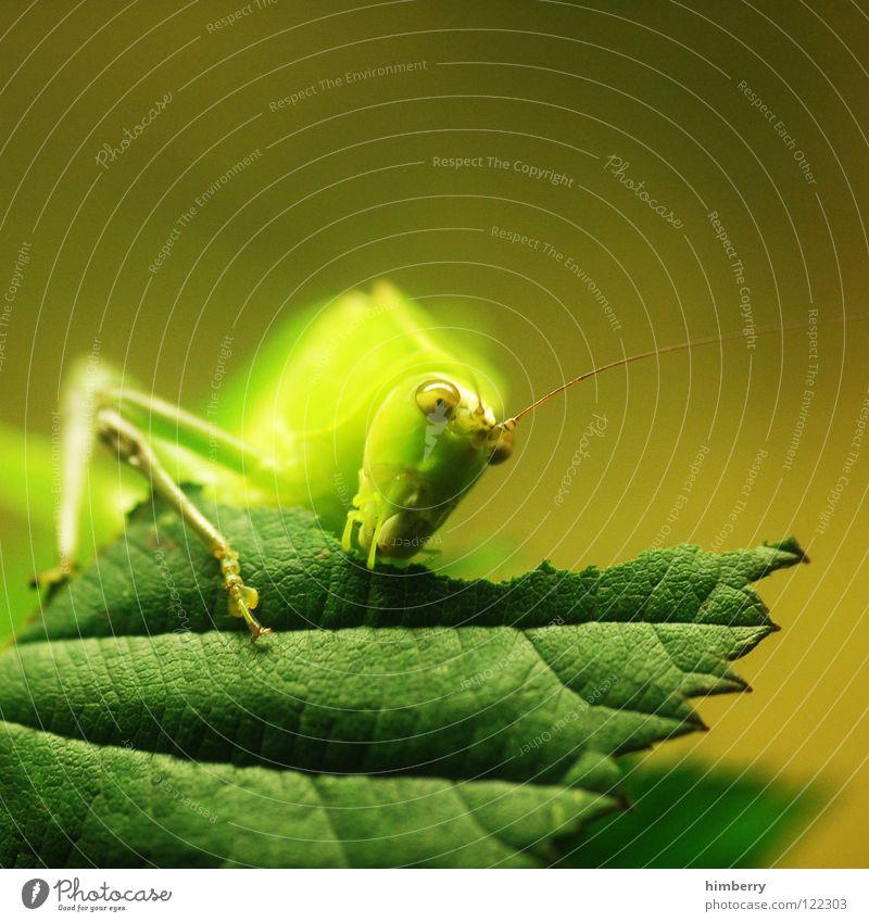 master flip II Insekt Tier Blatt grün Heimchen Schädlinge Heuschrecke Fressen Salto nagen Ernährung springen hüpfen festhalten Makroaufnahme Nahaufnahme Natur