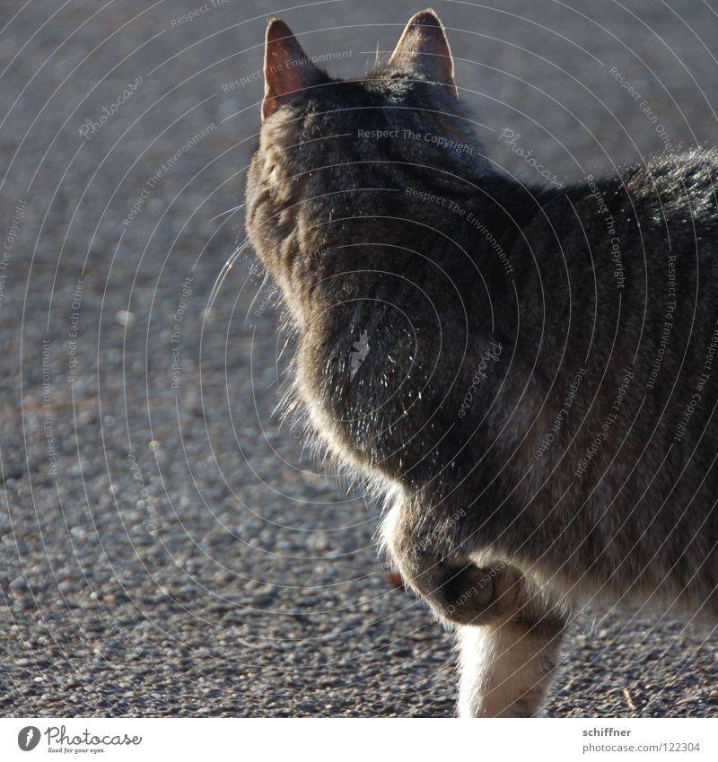 Catwalk II Katze Hauskatze Tier Säugetier Laufsteg stolzieren Schnurrhaar Fell Pfote Ohr Felidae Tigerle MuschMusch gehen ranpirschen Haare & Frisuren