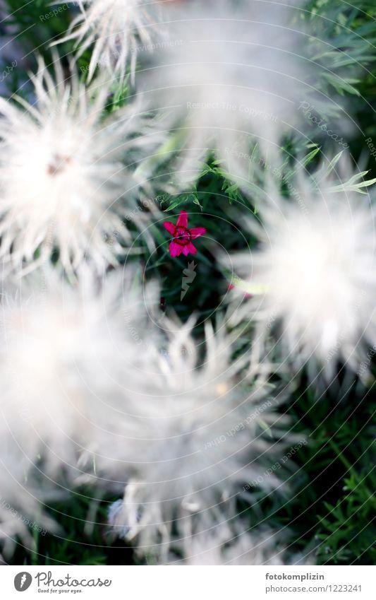 sternfederblume Natur Pflanze weiß Blume Einsamkeit Blüte klein Garten rosa Wachstum authentisch Lebensfreude einzigartig Hoffnung Sehnsucht Platzangst