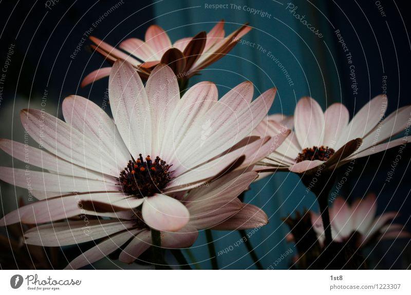 dark flowers Natur Stadt blau Pflanze schön Sommer weiß dunkel Umwelt Blüte natürlich Garten rosa elegant authentisch Blühend