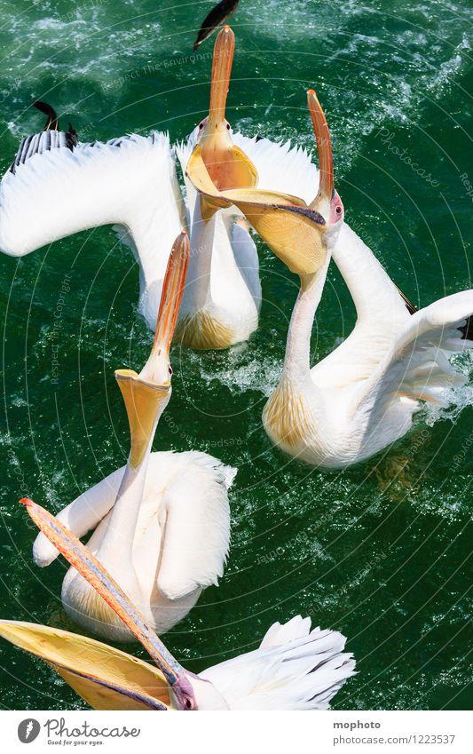 Das große Fressen #2 Fisch Essen Umwelt Natur Tier Wasser Meer Namibia Fischerdorf Wildtier Vogel Tiergesicht Flügel Pelikan Schnabel 4 Tiergruppe Bewegung