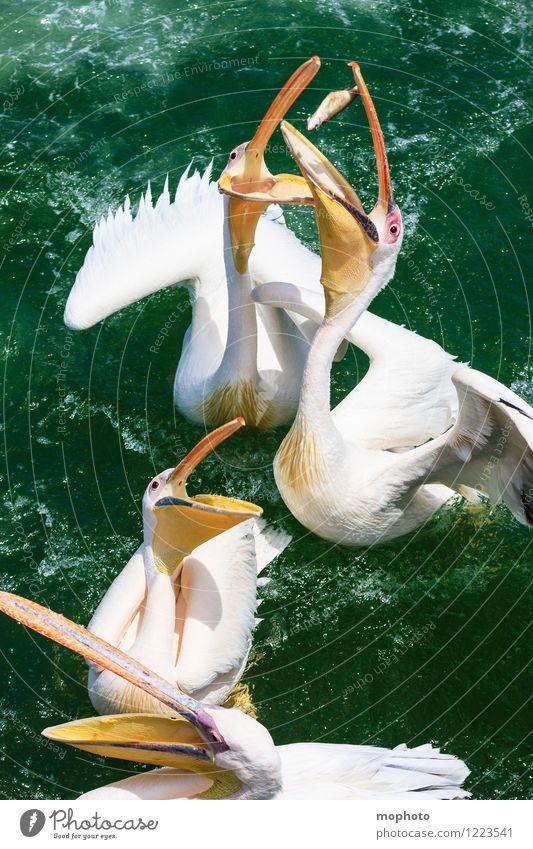 Das große Fressen #1 Fisch Essen Tourismus Ausflug Meer Umwelt Natur Tier Wasser Namibia Fischerdorf Vogel Tiergesicht Flügel Pelikan Schnabel 4 Tiergruppe