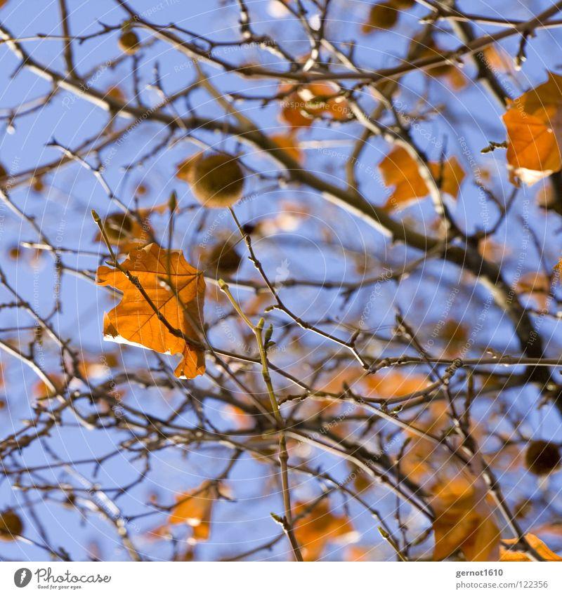 Wintersonne Himmel Baum blau Blatt Herbst Sträucher Ast Schönes Wetter Herbstlaub Platane
