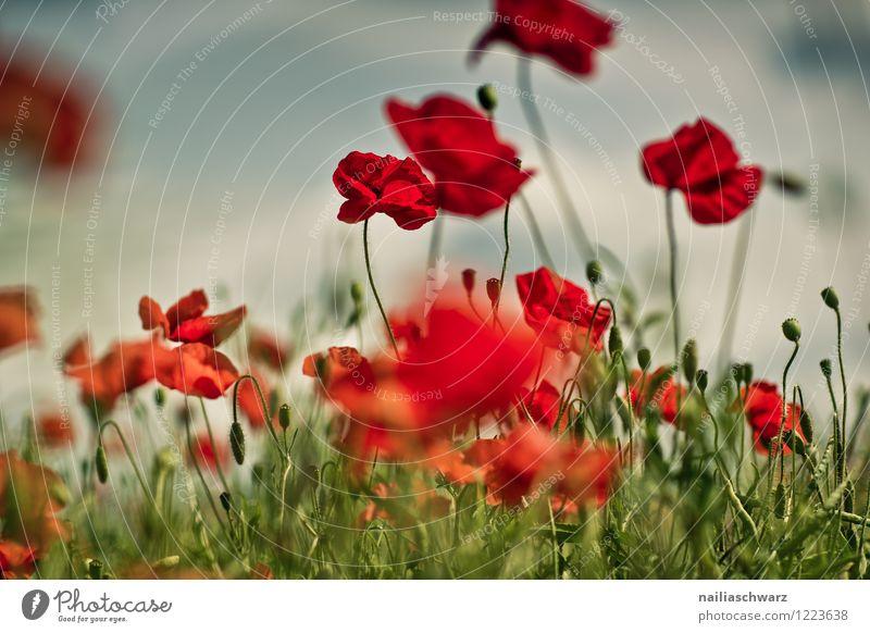 Mohnblumen auf Sommerwiese blau grün Sommer Sonne Blume rot Wiese Gras Garten Feld Idylle Blühend Mohn Blumenwiese friedlich sommerlich