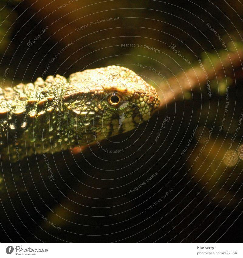 pupsnasenkanalie Tier Zoo Molch Echsen Echte Eidechsen Tarnung Leguane animal gepanzert Makroaufnahme exotisch