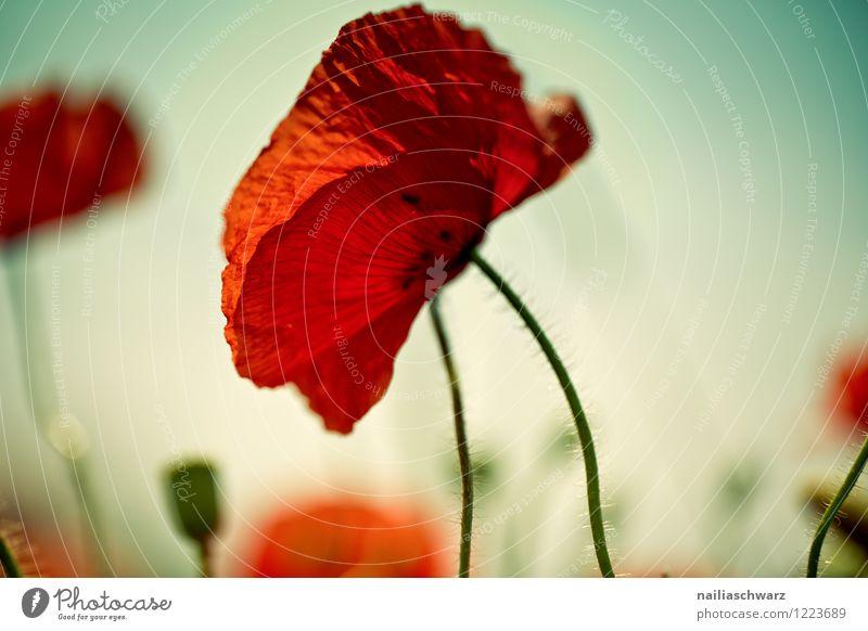 Mohnblumen auf Sommerwiese blau grün Sonne Blume rot Wiese Gras Garten Feld Idylle Blühend Blumenwiese friedlich sommerlich