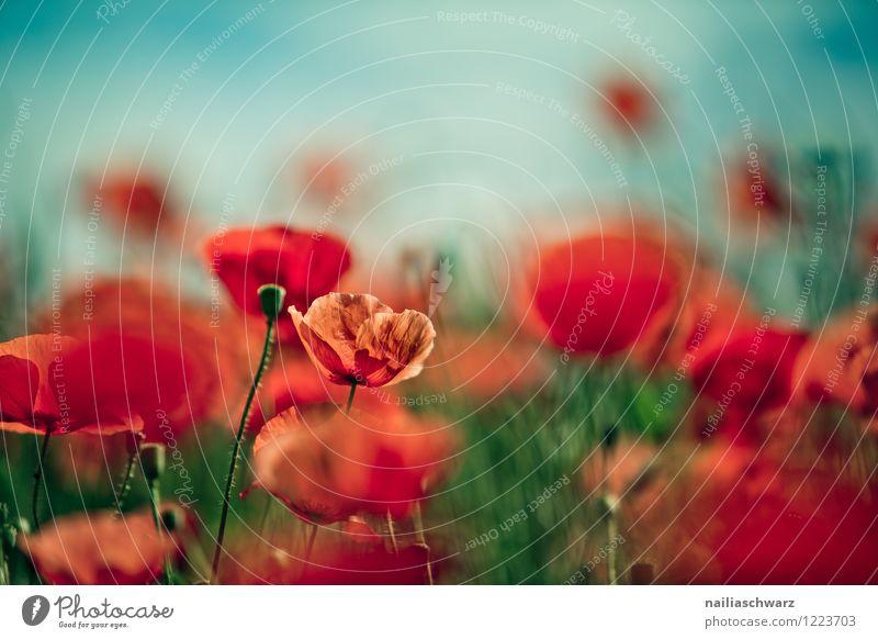 Mohnblumen auf Sommerwiese blau grün Sommer Sonne Blume rot Wiese Gras Garten Feld Idylle Blühend Mohn sommerlich friedlich Blumenwiese