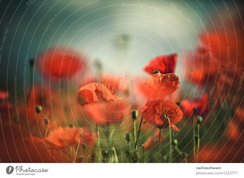 Mohnblumen auf Sommerwiese Sonne Garten Blume Gras Wiese Feld Blühend Wachstum blau grün rot friedlich Idylle Klatschmohn papaver rhoeas Wiesenblume gartenblume
