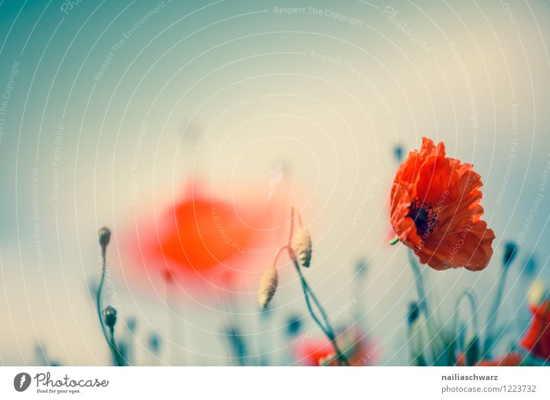 Mohnblumen auf Sommerwiese Sonne Garten Blume Gras Wiese Feld Blühend blau grün rot friedlich Farbe Idylle Klatschmohn papaver rhoeas Wiesenblume gartenblume