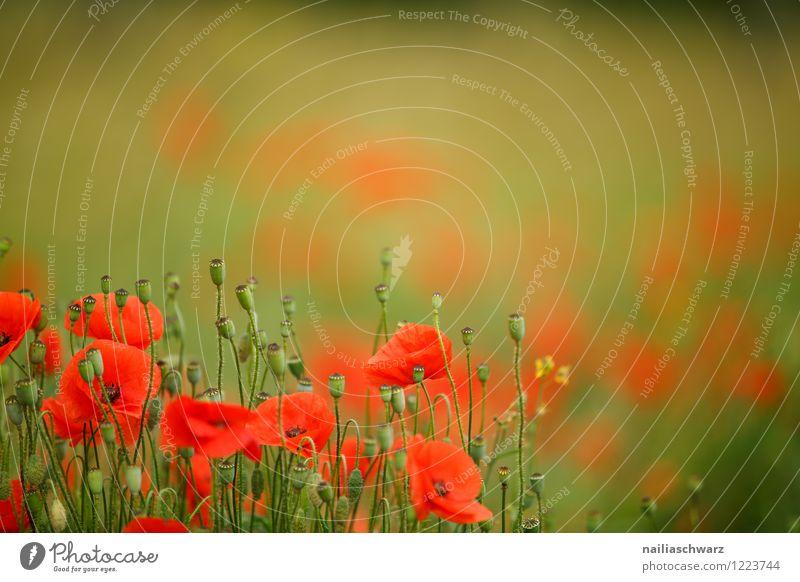 Mohnblumen auf Sommerwiese Sonne Garten Blume Gras Wiese Feld Blühend blau grün rot friedlich Idylle Klatschmohn papaver rhoeas Wiesenblume gartenblume blühen