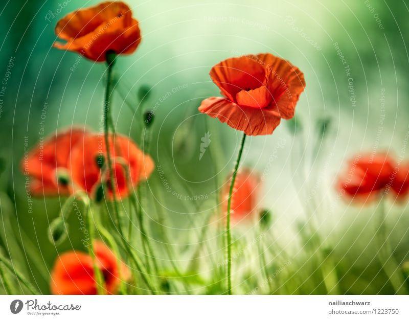 Mohnblumen auf Sommerwiese Sonne Garten Pflanze Blume Gras Wiese Feld Blühend blau grün rot friedlich Idylle Klatschmohn papaver rhoeas Wiesenblume gartenblume