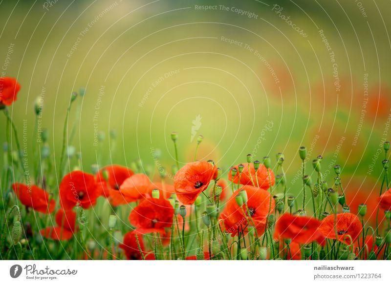 Mohnblumen auf Sommerwiese Sonne Garten Blume Gras Wiese Feld Blühend natürlich blau grün rot Romantik friedlich Farbe Idylle Klatschmohn Wiesenblume blühen