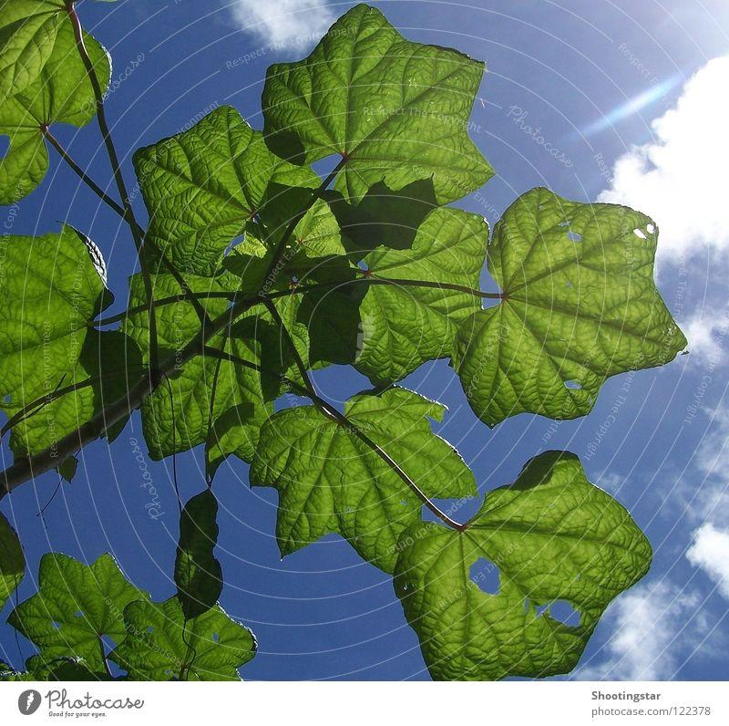 leuchtendes grün Blatt Sonnenlicht Kraft Wolken durchleuchtet Sommer Sträucher Loch blau Wurm drin Raupe nimmersatt sunshine Blick von unten Außenaufnahme