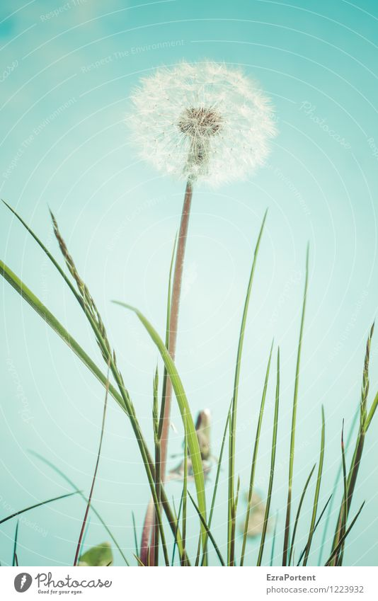 kurz vor`m Abflug Umwelt Natur Pflanze Himmel Frühling Sommer Blume Gras Blüte Garten ästhetisch hell blau grün weiß Unkraut Löwenzahn Taraxacum Samen Blattgrün