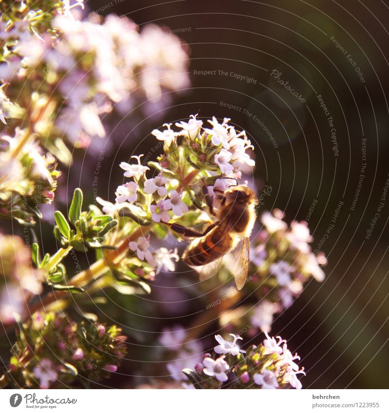 sonne tanken Natur Pflanze Tier Sommer Herbst Schönes Wetter Blume Blatt Blüte Nutzpflanze Kräuter & Gewürze Majoran Oregano Thymian Garten Park Wiese Wildtier