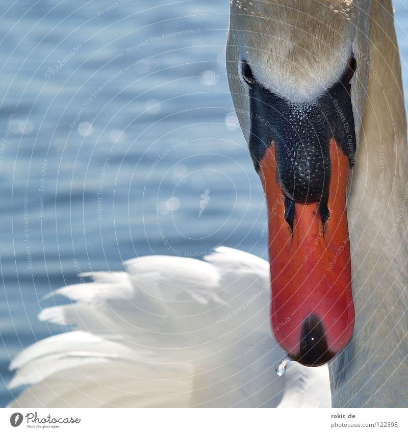 Schwanenritter Lohengrin schön Vogel Schwimmen & Baden Feder Schnabel Im Wasser treiben Stolz Oper Ritter Rhein Angriff fixieren Angeben Rheingau Eltville