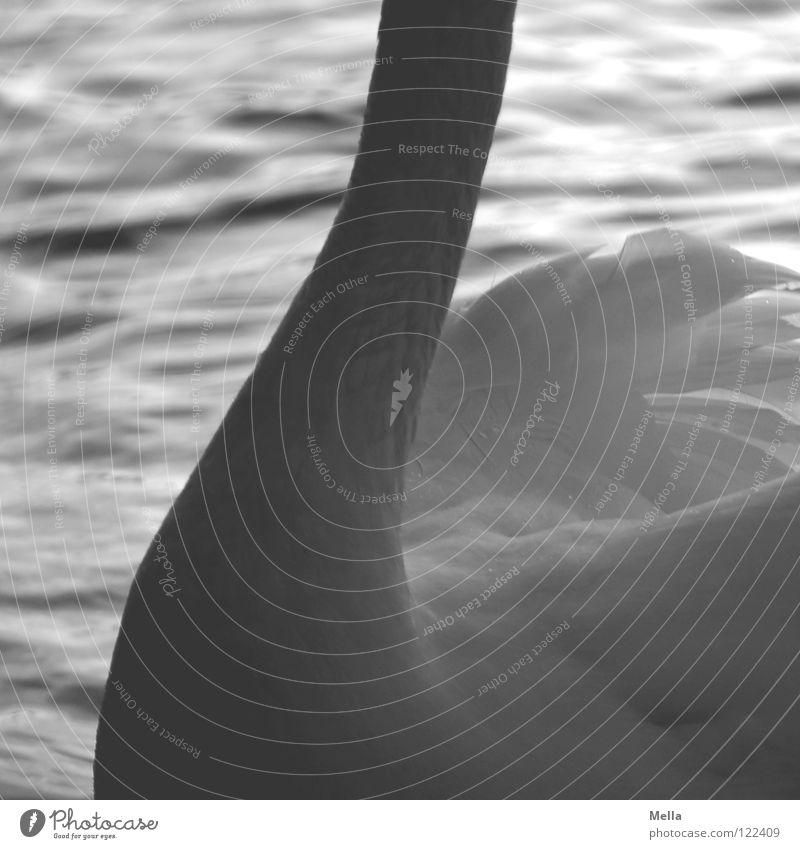 Schwanenhals Feder Schwung geschwungen gekrümmt zart fein weiß Vogel Wellen wellig Oberkörper Wasser Hals Flügel Fittiche Wasservogel Detailaufnahme Körperteile