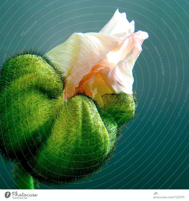 rosa mohn 2 schön weiß Blume grün schwarz rund Mohn türkis aufmachen entfalten Mohnblüte hellgelb