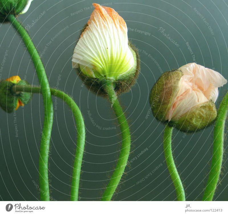 fünf mohnblumen 2 Mohn Mohnblüte Blume 5 Schwung rund weiß gelb rosa grün khakigrün türkis grau schön mehrere Tanzen Bewegung Strukturen & Formen volumen