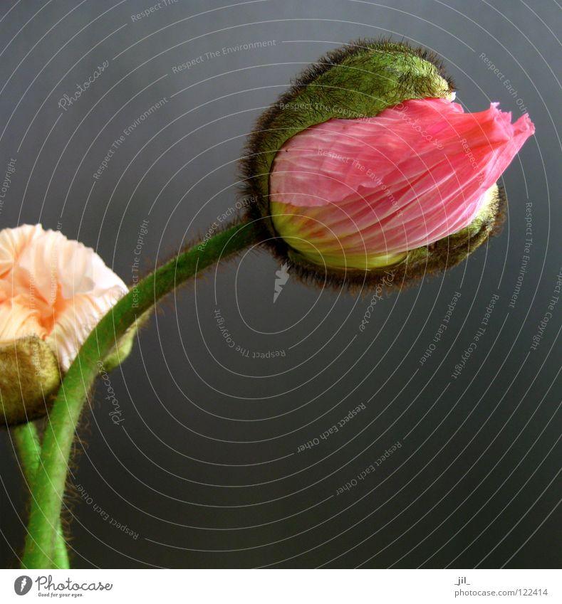 zwei mohnblumen 2 Mohn Mohnblüte Blume rund rosa gelb grün khakigrün grau schwarz schön volumen apricot