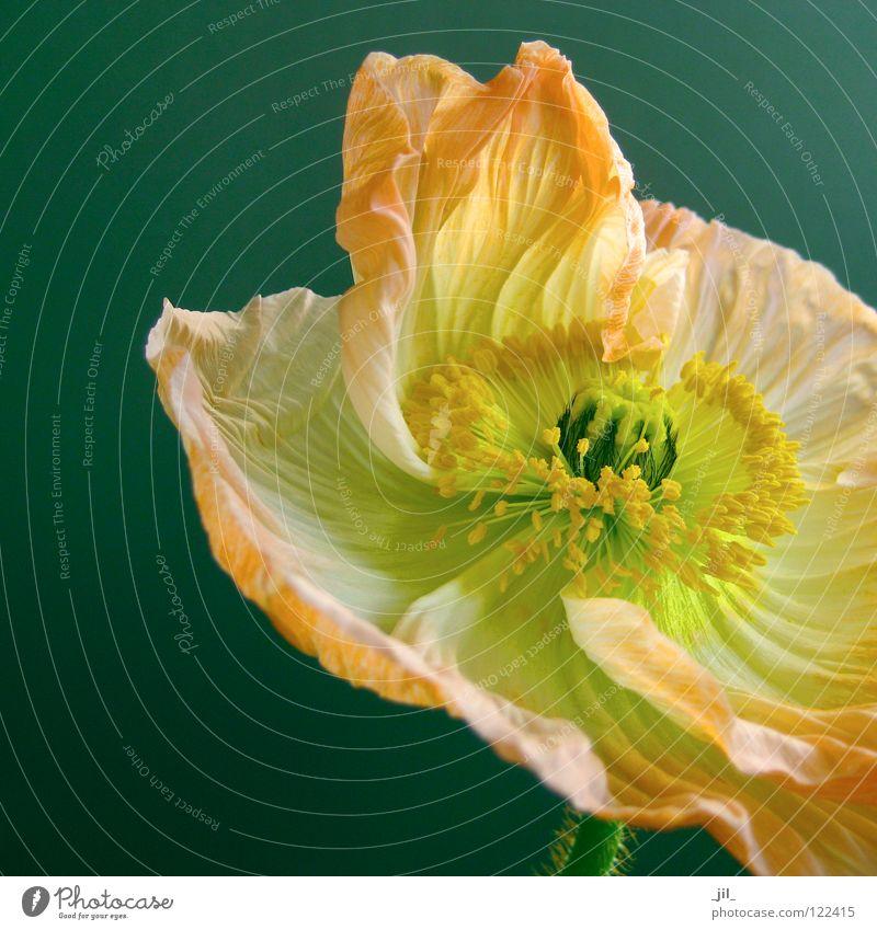 apricot mohn Mohn Mohnblüte Blume entfalten Schwung leicht Leichtigkeit gelb grün türkis khakigrün schwarz schön offen Strukturen & Formen Bewegung orange