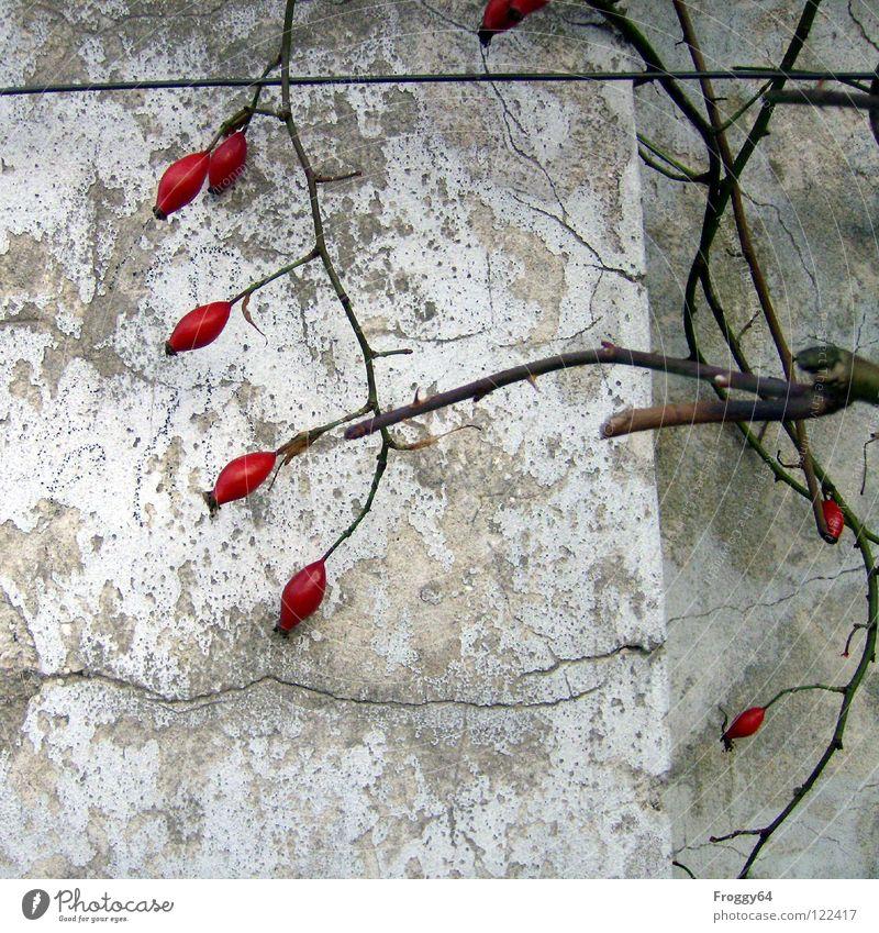Rote Früchte rot Rose Wand weiß Mauer Dorn Putz Draht Ecke Garten Park Beeren Ast Zweig Farbe Riss alt Hundsrose