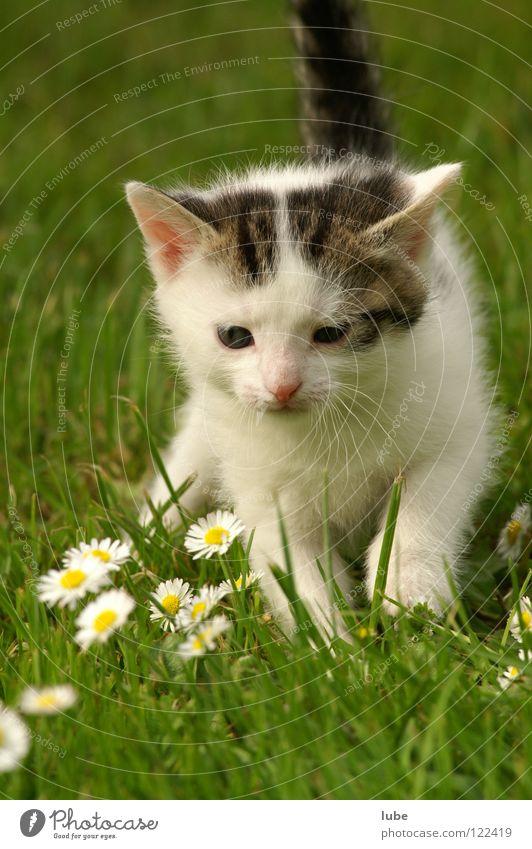 Mietzekatze Gras Katze Gänseblümchen Säugetier Hauskatze Wiesenblume Blume