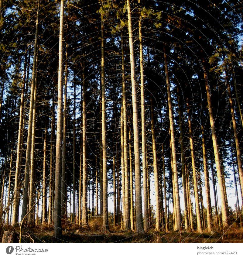 Himmelsstürmer Farbfoto Außenaufnahme Menschenleer Erfolg Karriere Natur Pflanze Baum Wald braun grün Ordnung hoch hinaus wollen fest verwurzelt Tag