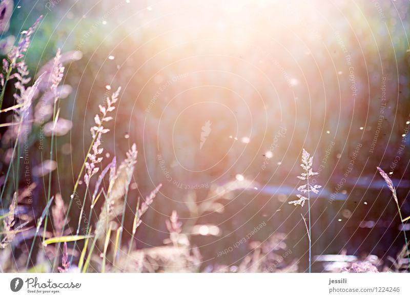 sum Natur Landschaft Pflanze Sonnenaufgang Sonnenuntergang Sonnenlicht Sommer Schönes Wetter Gras Wildpflanze Wiese Feld Flussufer Schwarm Gefühle Stimmung