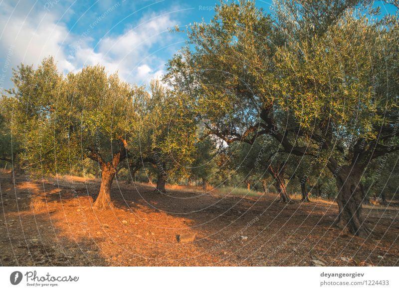 Olivenbäume und Sonnenstrahlen Gemüse Frucht Garten Kultur Natur Landschaft Pflanze Himmel Baum Blatt alt natürlich grün oliv Schonung Hain Griechenland Erdöl
