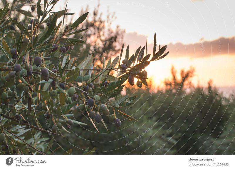 Olivenbäume auf Sonnenuntergang. Natur alt Baum Landschaft Blatt Garten Design Erde Aussicht Kultur Italien Spanien Ernte ländlich Griechenland