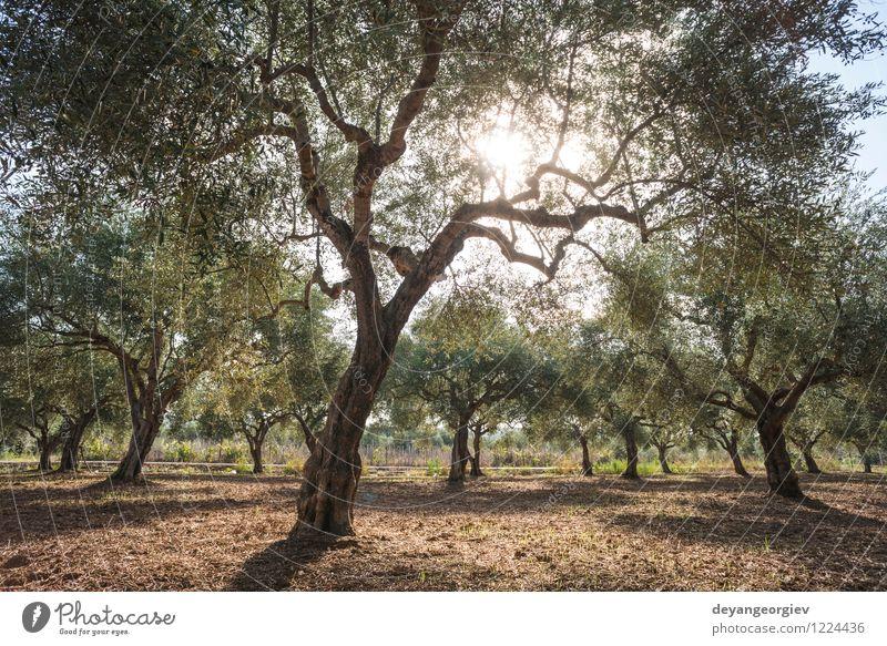 Olivenbäume und Sonnenstrahlen Himmel Natur Ferien & Urlaub & Reisen schön grün Sommer Baum Landschaft Gras natürlich Garten Frucht Tourismus Aussicht Ernte