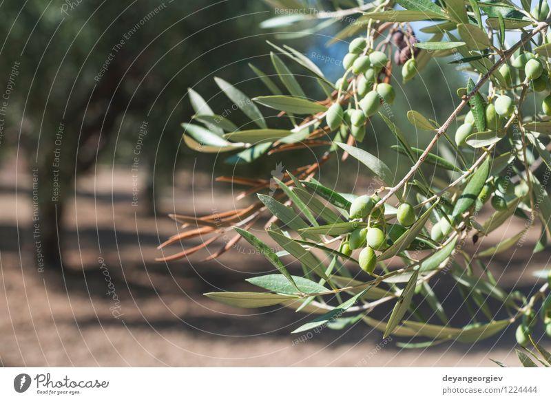 Olivenzweige im Vordergrund Gemüse Frucht Garten Natur Landschaft Pflanze Baum Blatt frisch natürlich grün oliv Ast mediterran Schonung Lebensmittel Hain