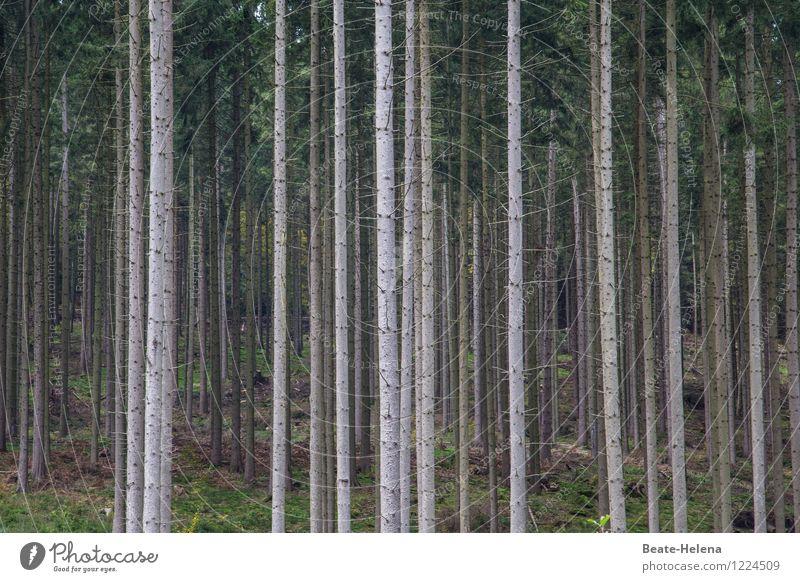 Wenn Bäume Wald spielen Natur Pflanze grün Sommer Baum dunkel Umwelt Linie braun Wachstum ästhetisch Völker Zusammenhalt Tanne kahl
