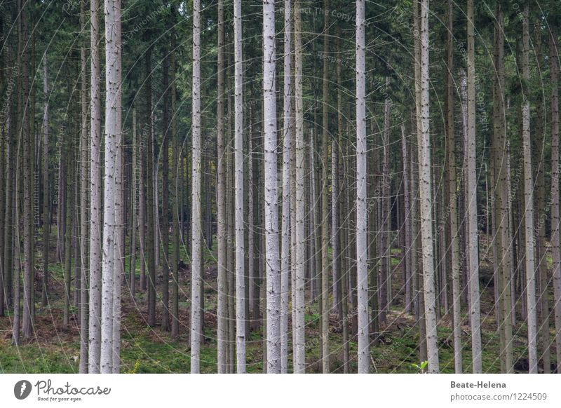 Wenn Bäume Wald spielen Umwelt Natur Pflanze Sommer Baum Wachstum ästhetisch dunkel braun grün Ausdauer Zusammenhalt vertikal Linienstärke Völker Tanne