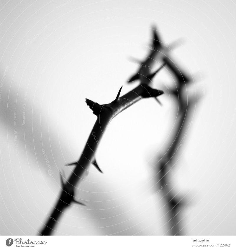 Dornen stachelig schwarz weiß wehrhaft Unschärfe Gegenlicht Licht Umwelt Wachstum gedeihen Sträucher Schwarzweißfoto Zweig Brombeeren Spitze Stachel Dornröschen