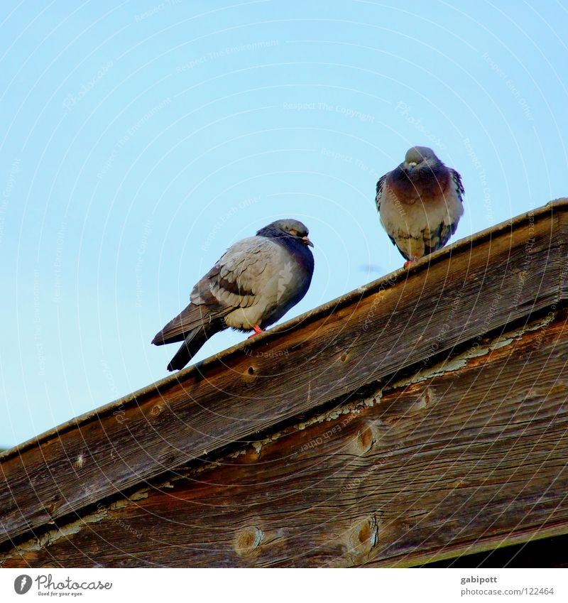 Von Spatzen und Tauben, Dächern und ... Himmel blau Haus Holz grau braun Vogel warten dreckig sitzen Dach Feder verfallen hocken Gurren