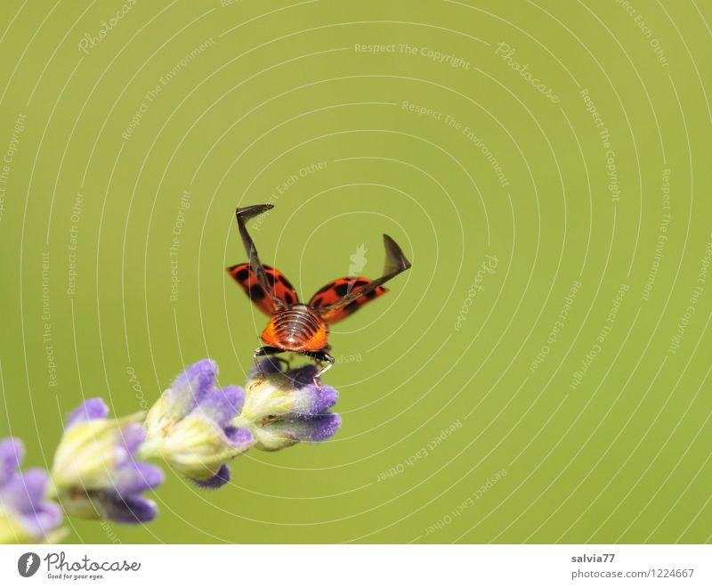 3...2...1... blau Pflanze grün Sommer Blume Tier Umwelt Frühling Blüte Glück klein fliegen oben träumen Wildtier frei