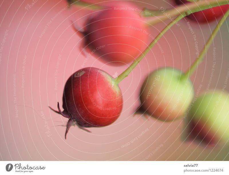 Beerenzeit Pflanze Farbe Sommer rot Gesunde Ernährung Herbst Gesundheit klein Gesundheitswesen Frucht Sträucher genießen süß rund lecker gut