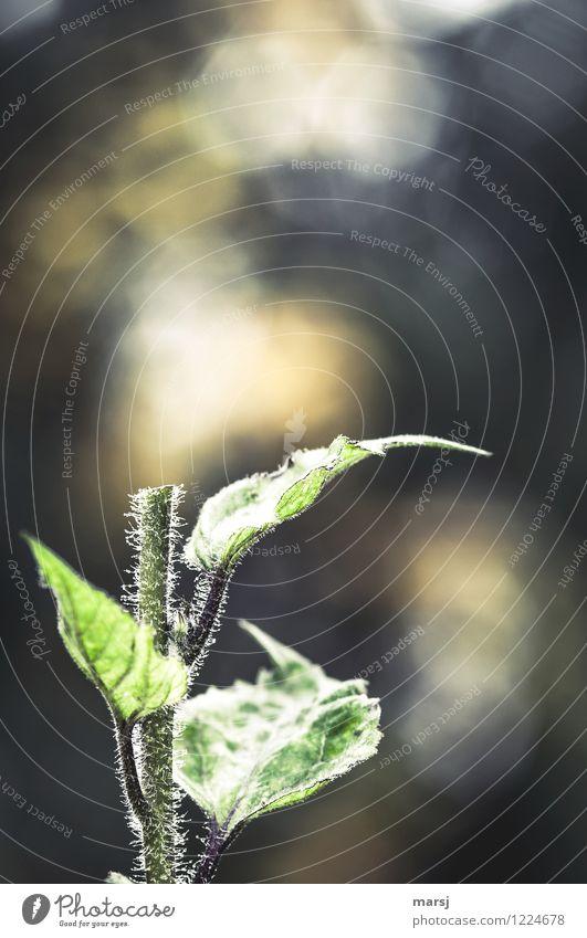 (Ge)Schnitt(ene)blume Natur Pflanze Sommer Blatt Nutzpflanze Sonnenblumenstängel Stengel Pflanzenteile geteilt getrennt gruselig einzigartig grün Überraschung