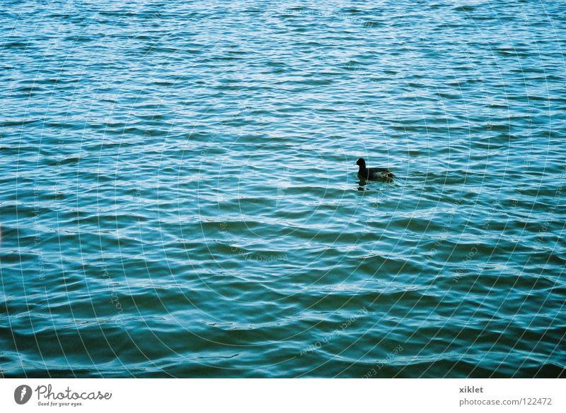 duk See Sommer Tier Vogel Leben schwarz einzigartig Natur Ente Wasser blau Einsamkeit Wellen Deutschland Teich Wasseroberfläche Im Wasser treiben