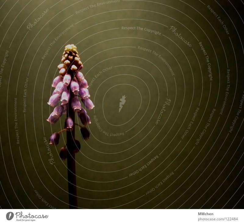 SchattenParker Blume Pflanze Stengel Blüte violett grün grau einzeln Hyazinthe Traubenhyazinthe Steingarten Botanik Gift Weinberg Balkon Halbschatten