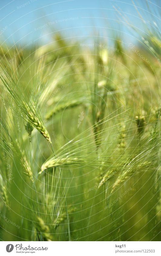 Stürmisches Gerstenfeld |das letzte| Weizen Roggen Blume grün Gras Freizeit & Hobby beige braun nah Sommer Wiese Feld Halm Ähren weiß Mehl Korn ruhig Getreide