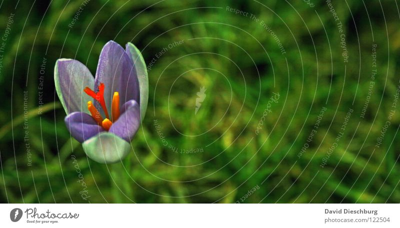 The first Flowers Blume Krokusse Wiese Pflanze Blüte Gras grün violett gelb Frühling Makroaufnahme Nahaufnahme Blühend Stempel blau orange Pollen