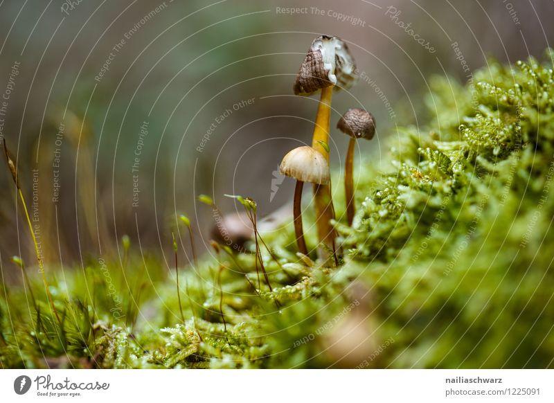 Pilze im Herbstwald Umwelt Natur Baum Moos Blatt Wald Wachstum einfach natürlich grün friedlich rein waldpilz boden herbstlich feucht Farbfoto Außenaufnahme