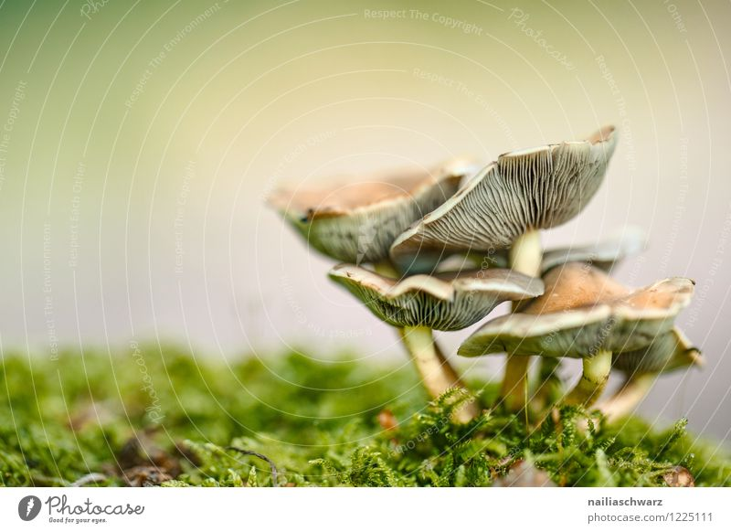 Pilze im Herbstwald Umwelt Natur Baum Moos Blatt Wald Wachstum lecker natürlich schön braun gelb grün friedlich waldpilz boden herbstlich feucht Farbfoto