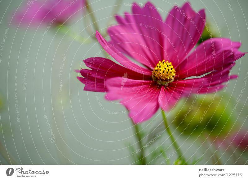 Cosmos bipinnatus Umwelt Natur Pflanze Frühling Sommer Blume Blüte Nutzpflanze Schmuckkörbchen Garten Park Wiese Feld Blühend Wachstum Duft frisch schön
