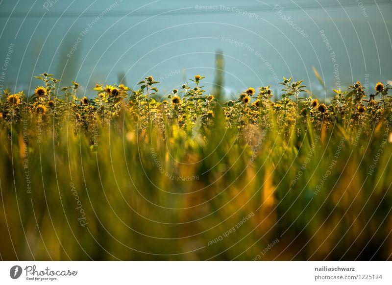 Feld mit Sonnenblumen Sommer Landwirtschaft Forstwirtschaft Umwelt Natur Pflanze Blume Blüte Nutzpflanze Blühend Wachstum authentisch natürlich schön viele blau